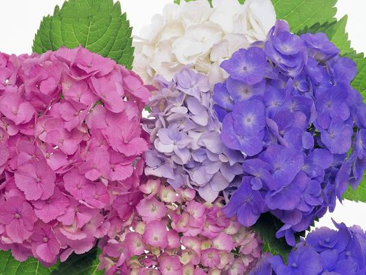 click to free download the wallpaper--Hydrangea Flowers Picture, Colorful and Impressive Flower, Green Leaves
