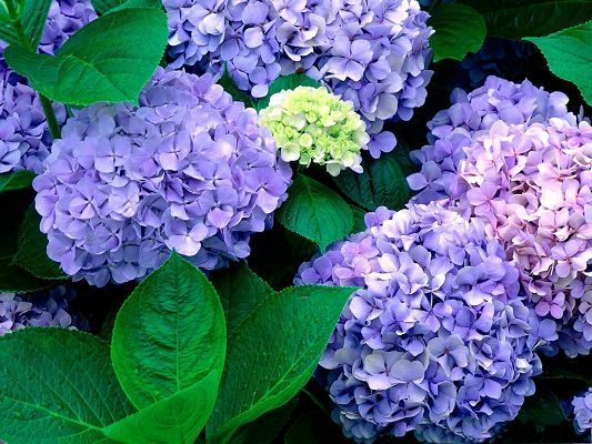 click to free download the wallpaper--Hydrangea Picture, Blue Rounded Flowers and Green Leaves