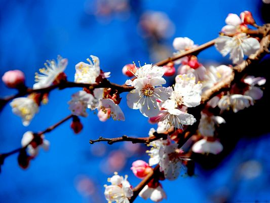 click to free download the wallpaper--Image of Apricot Flowers, White Tiny Flowers on Thin Branch, the Blue Sky as Setting