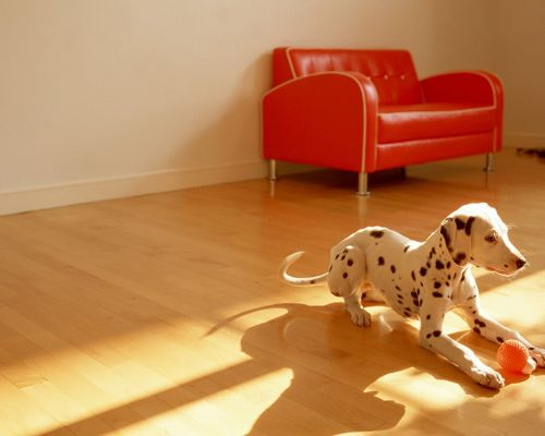 click to free download the wallpaper--Image of Cute Animals, Dalmatian Puppy Playing Indoor, a Red Ball, Sunshine All Over the Room