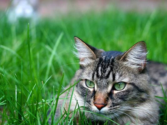 click to free download the wallpaper--Image of Cute Animals, Hunting Cat, Lying Among Green Grass, Take Care!