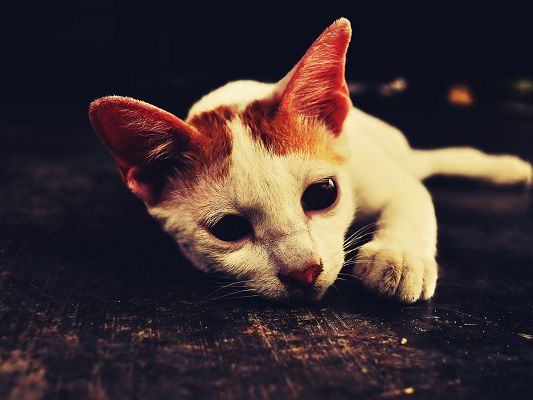 click to free download the wallpaper--Image of Cute Animals, White Cat Lying on Black Floor, Shall be Impressive
