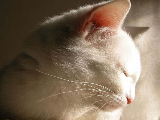 click to free download the wallpaper--Image of Cute Cat, White Kitten in Sleep, Hard to Wake Up