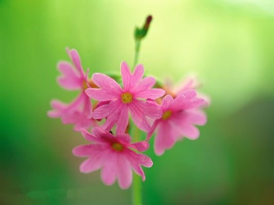 click to free download the wallpaper--Image of Flowers, Pink Flowers on Green Background, Amazing Scene