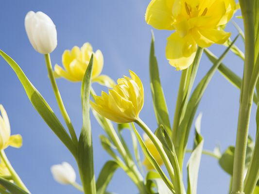 click to free download the wallpaper--Image of Flowers, White and Yellow Flowers in the Blue Sky, Smile in Blooming