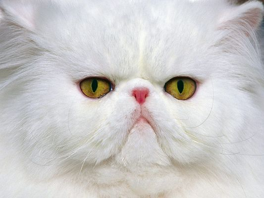 click to free download the wallpaper--Image of Funny Kitten, Crowded Face, Indifferent and Uncaring