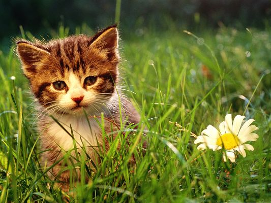 click to free download the wallpaper--Image of Nature Landscape, Cute Cat Among Green Grass, a Blooming White Flower