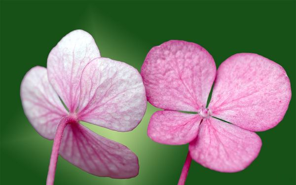 click to free download the wallpaper--Image of New Flowers, Pink Flowers in Pair, Green Background