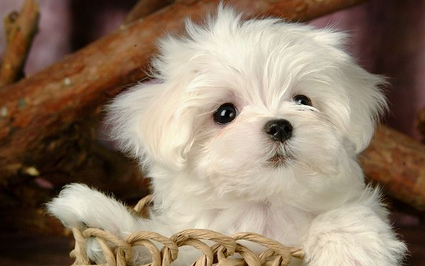 click to free download the wallpaper--Image of Pet Dogs, White and Lovely Puppy Put into a Basket