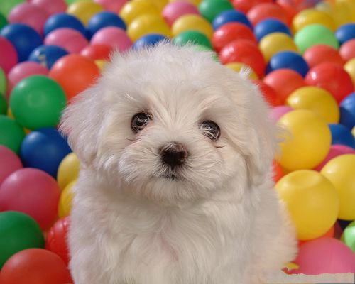 click to free download the wallpaper--Image of White Baby Dog, Staying Among Colorful Play Balls, Have a Great Time!