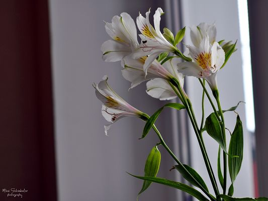 Image of White Flowers, Small Blooming Flowers, Kept Indoor, Great in Look