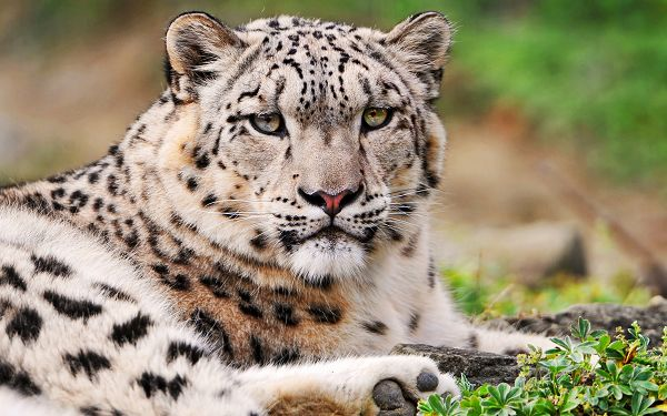 click to free download the wallpaper--Images of Animals - White Snow Leopard Post in Pixel of 2560x1600, Lying Still, Eyes Focused, She is Good.