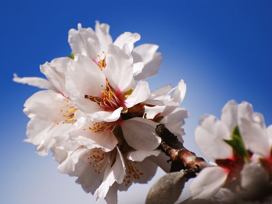 click to free download the wallpaper--Images of Apple Flowers, White Blooming Flowers Under the Blue Sky