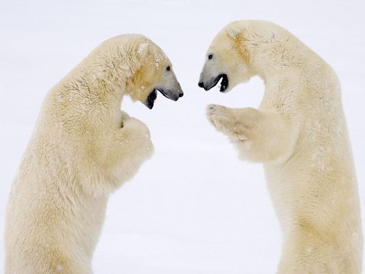 click to free download the wallpaper--Images of Bear, Male Bears Greeting Each Other, Best Friends
