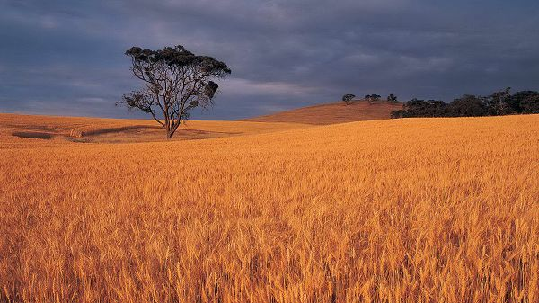 click to free download the wallpaper--Images of Beautiful Nature - Dusk Scene, Golden and Ripe Wheats, Tall Trees Standing in the Middle