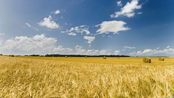 Images of Beautiful Nature - The Blue Sky and Fine Weather Have Made Wheats Ripe, Golden and Fruitful Autumn