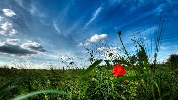 click to free download the wallpaper--Images of Beautiful Scene - A Red Flower Among the Green Plants, Under the Blue Sky, They Grow Well
