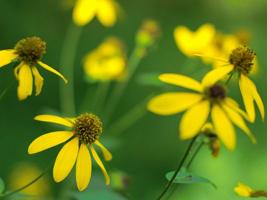 click to free download the wallpaper--Images of Coneflower, Yellow Blooming Flowers on Green Background