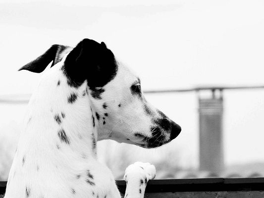click to free download the wallpaper--Images of Cute Animal, Dalmatian Puppy in the Wind, Cool Facial Expression