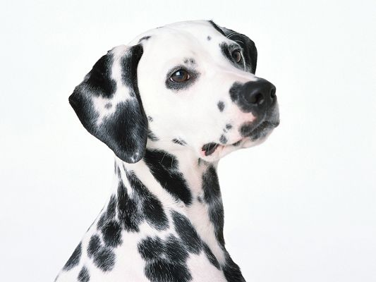 click to free download the wallpaper--Images of Dalmatian Dog, Shinning Smooth Fur, Soft Eyesight
