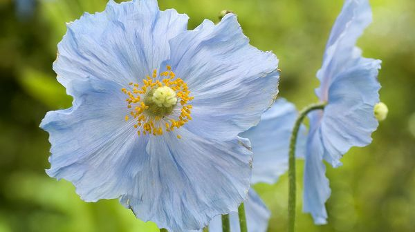 Images of Flowers - A Light Blue Flower in Full Bloom, Yellow Stamen, Green Background, Great in Look