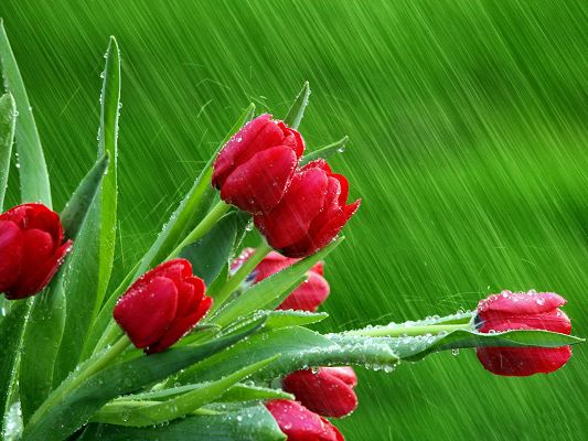 click to free download the wallpaper--Images of Flowers - Rose Buds Post in Pixel of 1600x1200, Red Flowers in the Rain, Green Background