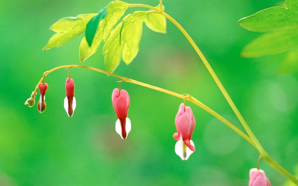 click to free download the wallpaper--Images of Flowers, a Line of Red Flowers on Thin Branch, Green Leaves