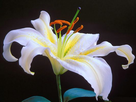 click to free download the wallpaper--Images of Lilies, White Blooming Lily, Graceful Flower