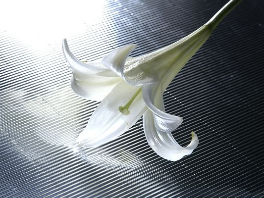 click to free download the wallpaper--Images of Lily Flowers, White and Wild Lily, Falling on White Metal