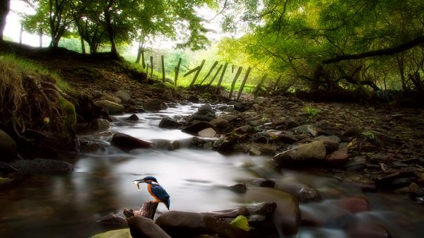 Images of Natural Scene - A Bird Holding a Fish in the Mouth, Black Big Stones in the Rush River, Green Trees