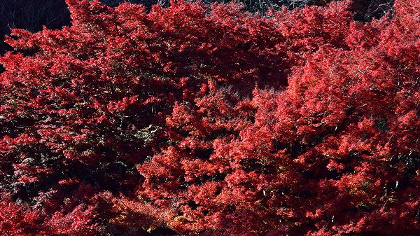 Images of Natural Scene - Leaves of the Tree Are Red Like Blood, They Are Impressive and Looking Good