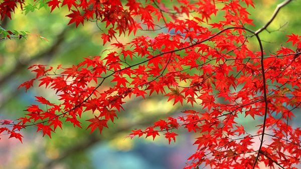 Images of Natural Scenery - Red Maple Trees, Green Background, is Quite a Contrast in Vision