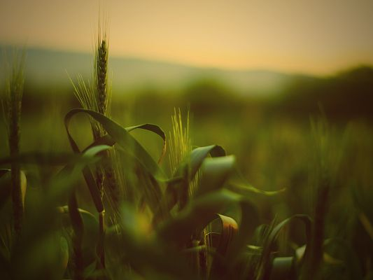 click to free download the wallpaper--Images of Nature Landscape, Summer Wheat, Not Yet Ripe, the Mere Faraway Scene