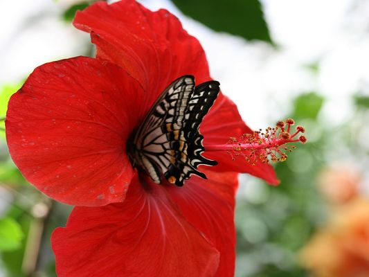 click to free download the wallpaper--Images of Nature Landscape, a Butterfly on a Red Flower, Great Lovers
