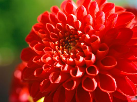 click to free download the wallpaper--Images of Red Flower, Beautiful Blooming Flower on Green Background, Incredible Scene