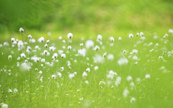 click to free download the wallpaper--Images of Wild Flower, White Flowers Among Green Grass, Pure and Cozy Scene