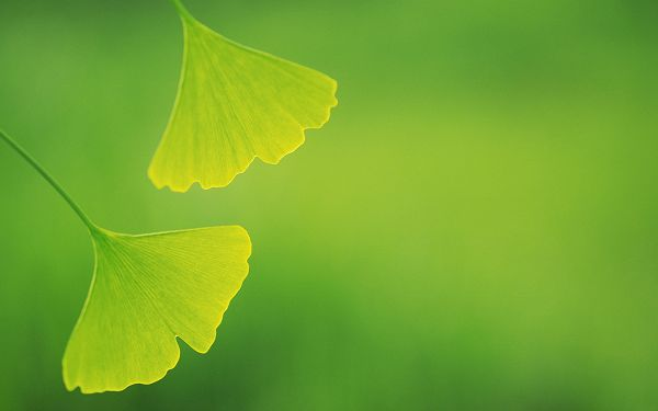 Includes Two Green Leaves and Background, Both Good-Looking and Protective - HD Photography Leaves Wallpaper