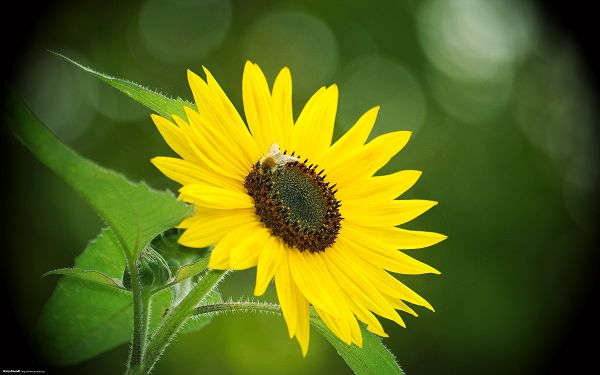 click to free download the wallpaper---Includes a Sunflower and a Bee, Background is Incredibly Green, Laboring Bee Should be High Appreciated - Natural Scenery Wallpaper