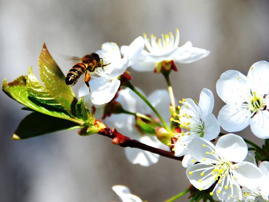 click to free download the wallpaper--Insect and Flower, Bee On White Spring Flowers, Loving Each Other