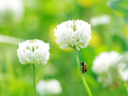 click to free download the wallpaper--Insect and Flowers, Ladybug On Clover Flower, Fresh and Nature Scene