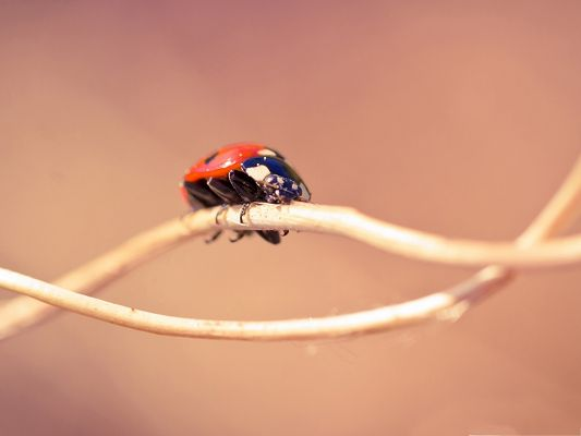 Insect and Nature, Ladybug On Twig, Light Pink Background