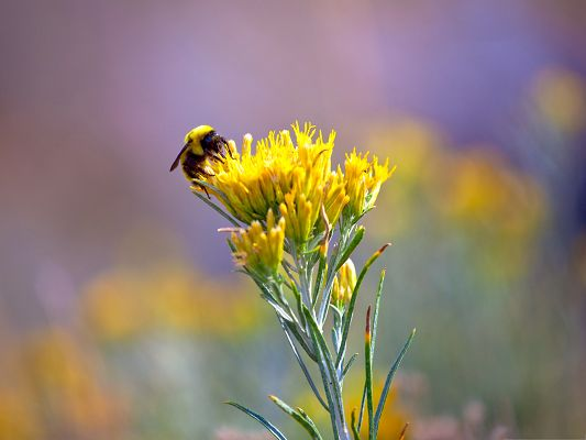click to free download the wallpaper--Insects and Nature, a Bee on Yellow Blooming Flowers, Nature Abandon Each Other