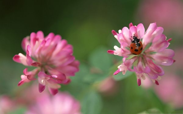 click to free download the wallpaper--Insects in Nature, Ladybug On Pink Clover Flower, Never Abandon Each Other