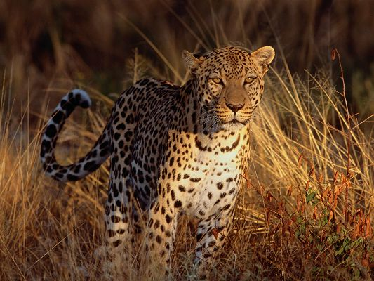 Intense Focus Leopard HD Post in Pixel of 1600x1200, He Must Have Got a Target, Be Slow and Approaching Quietly - Cute Animals Wallpaper