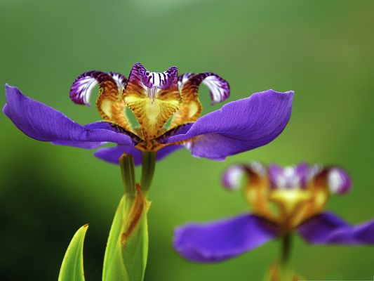 click to free download the wallpaper--Iris Flowers Pics, Purple Flower in Bloom, Put Against Green Background