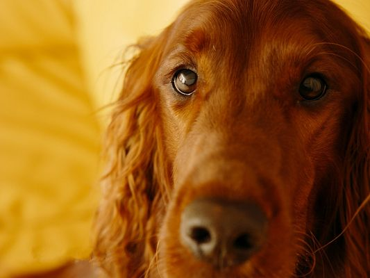click to free download the wallpaper--Irish Setter Images, Attentive and Kind Eyesight, Sweet Cutie!