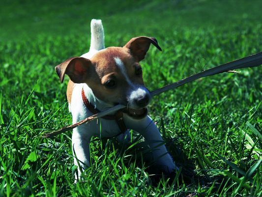 click to free download the wallpaper--Jack Russell Puppy, Little Dog Playing Outdoor, Running Among Green Grass