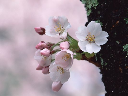 click to free download the wallpaper--Japanese Cherry Blossom Picture, White to Pink Cherries