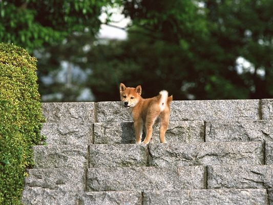 Japanese Shiba Inu Image, Standing on Stony Stairs and Looking Back
