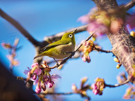 Japanese White Eye Bird, Beautiful Bird Among Blooming Cherries